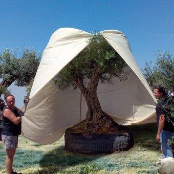 Winterbescherming olijfboom