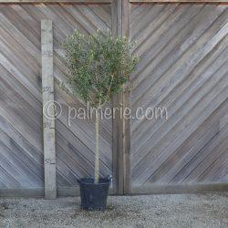 Olijfboom_stam 100-125 cm_palmerie